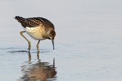 Sandpiper search food in waterfowl Royalty Free Stock Images