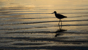 Sandpiper on the Beach Stock Image