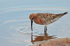 Sandpiper searching. Sandpiper search worms in the marsh Stock Photo
