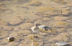 Sandpiper in Shallow Waters Stock Photo