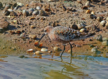 Sandpiper among shells. Sandpiper searched mollusks among shells Royalty Free Stock Photo