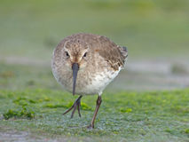 Sandpiper At The Shore Royalty Free Stock Image