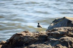 Sandpiper on Shore Royalty Free Stock Images