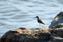 Sandpiper on Shore Royalty Free Stock Image