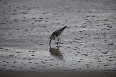Sandpiper. Shorebird along the beach shore stock photos