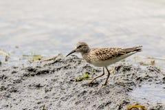 Sandpiper Shorebird Royalty Free Stock Photos