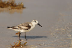 Sandpiper at shoreline. Sandpiper wading on beach at shoreline Royalty Free Stock Photography