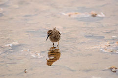 Sandpiper on the shoreline Royalty Free Stock Images