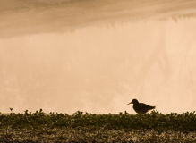 Sandpiper Silhouette Royalty Free Stock Photos