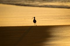 Sandpiper Silhouette. On beach at sunrise Royalty Free Stock Image