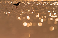 Sandpiper standing in the water with beautiful orange bokeh Stock Photo