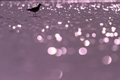 Sandpiper standing in the water with beautiful purple bokeh Royalty Free Stock Images