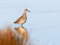 Sandpiper on Stock Images