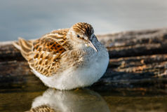 Sandpiper standing in the waters of Jamaica Bay Wi. Shorebird in Jamaica Bay. Fluffy sandpiper (scolopacidae) and its breast feathers reflection in the water Stock Photos