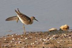 Sandpiper stretching. On the sand near the sea Stock Photos