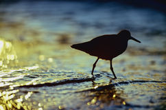 Sandpiper At Sunset Stock Image