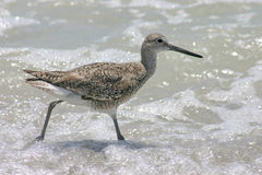 Sandpiper in Surf Royalty Free Stock Photography