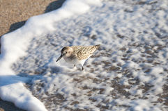 Sandpiper in the surf. Stock Photo