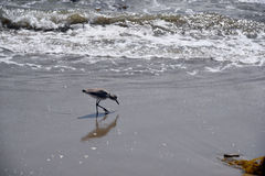 Sandpiper in the Surf Stock Image