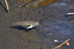 Sandpiper on the swamp Royalty Free Stock Photography