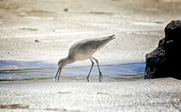 Sandpiper Royalty Free Stock Photography