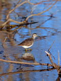 The sandpiper among thickets Royalty Free Stock Photography