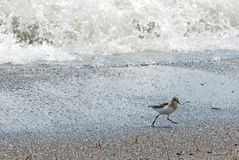 Sandpiper. A tiny sandpiper running along the beach Royalty Free Stock Images