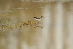 Sandpiper/Tringa ochropus/ Stock Photo