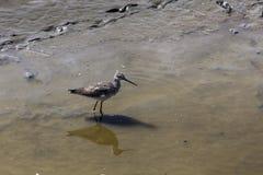Sandpiper w Błotnistej wodzie zdjęcia royalty free