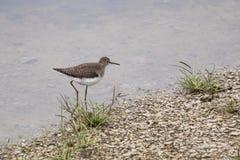 Sandpiper w strumieniu zdjęcie stock