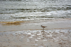 Sandpiper Stock Photography