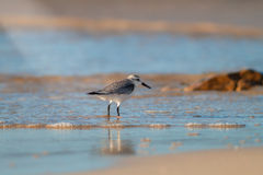 Sandpiper Royalty Free Stock Photo