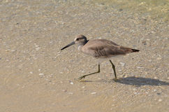 Sandpiper Wading in Shallow Water on a Beach Royalty Free Stock Images