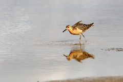 Sandpiper walk on shallow water Royalty Free Stock Photos