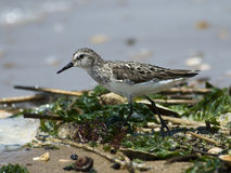 Sandpiper walking along tide line Royalty Free Stock Images