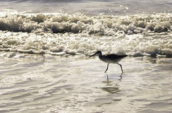 Sandpiper walking on beach Stock Images