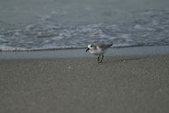 Sandpiper walking the beach during sunrise over Gulf of Mexico. A sandpiper bird walks on the beach during the sunrise over the Gulf of Mexico Stock Image