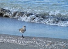 Sandpiper walking the beach during sunrise over Gulf of Mexico Royalty Free Stock Images