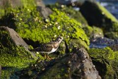 Sandpiper walking the rocks along the shoreline Stock Photos