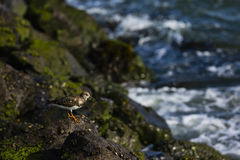Sandpiper walking the rocks along the shoreline Stock Photo