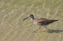 Sandpiper Walking in Shallow Water in Florida Stock Photography