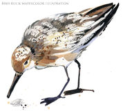 Sandpiper water bird watercolor illustration royalty free illustration