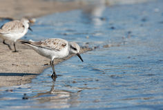 Sandpiper at waters edge Stock Image