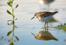 Sandpiper at water's edge, Jamaica Bay, New York Royalty Free Stock Photo