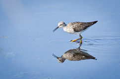 sandpiper wielki yellowlegs Obraz Stock