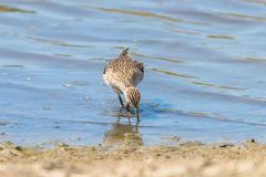 Sandpiper, Wood sandpiper in Shallow Water Tringa glareola Wader Bird Sandpiper. Wildlife royalty free stock images