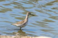 Sandpiper, Wood sandpiper in Shallow Water Tringa glareola Wader Bird Sandpiper. Wildlife stock image