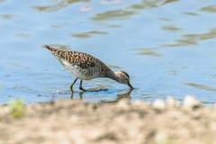 Sandpiper, Wood sandpiper in Shallow Water Tringa glareola Wader Bird Sandpiper. Wildlife stock photos