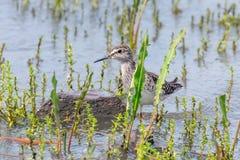 Sandpiper, Wood sandpiper in Shallow Water Tringa glareola Wader Bird Sandpiper. Wildlife stock photo