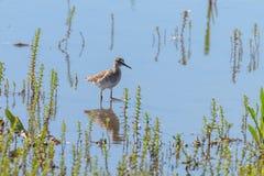 Sandpiper, Wood Sandpiper in Shallow Water Tringa glareola Wader Bird Sandpiper. Wildlife Birds royalty free stock photo